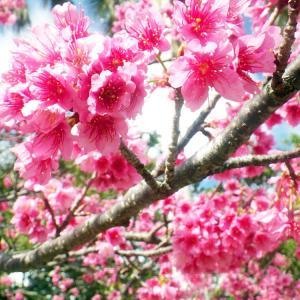 沖縄のお花見