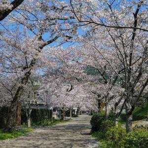 桜が満開・続