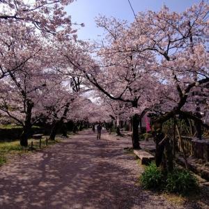 今年の桜の総集編