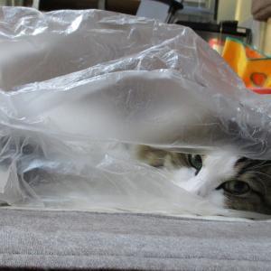 【コロナ憎し】ねぇやんのテレワーク継続と積極的におこもりな猫【おこもり継続】