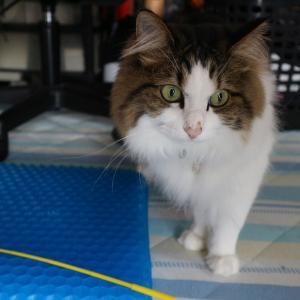 ふわっと柔らかジェルクッションを自分のものにする猫