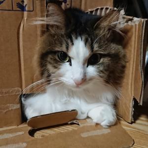 【コロナ増加】ねぇやんのテレワーク継続とおこもり上級者な猫【おこもり継続】