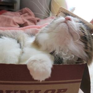 ブラッシング嫌いの猫、ブラッシングを克服する。