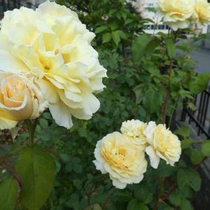 黄色いバラに癒されて(*'ω'*)丿&つぶやき