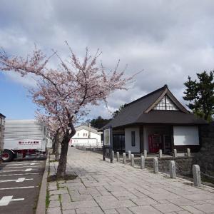 「道の駅だて歴史の杜」桜が咲いてましたよ。((@´∀`o[桜満開]o