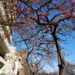 播磨坂ではもう桜が咲き始めました
