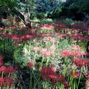 小石川植物園の 曼珠沙華が見頃を迎えています