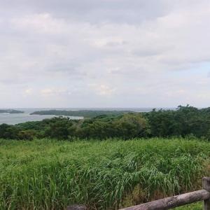 Goto石垣島2-3ヤエヤマヤシ群落
