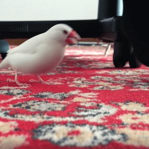 文鳥ピーちゃんと回転いす