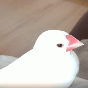 換羽が終わって元気いっぱいの文鳥さん