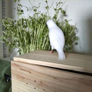 文鳥さんと豆苗の森