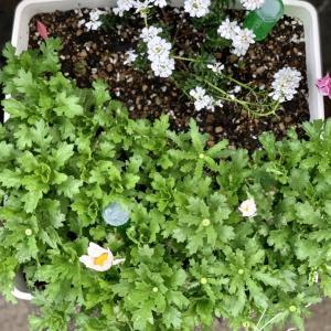 水仙の寄せ植え #3
