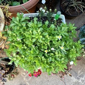 水仙の寄せ植え #5