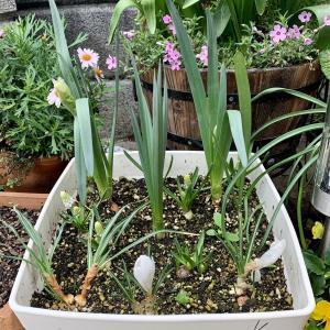 水仙の寄せ植え #8