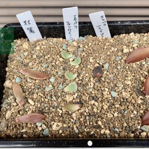 多肉植物の葉挿し #4