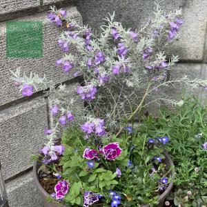 青い花の寄せ植え #2