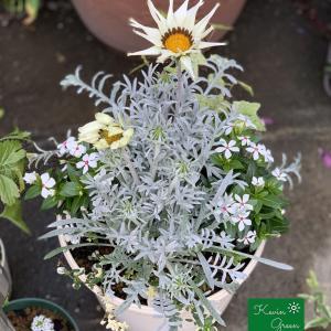 夏の白い花の寄せ植え #2