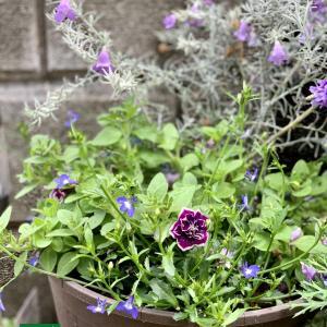 夏の青い花の寄せ植え #3