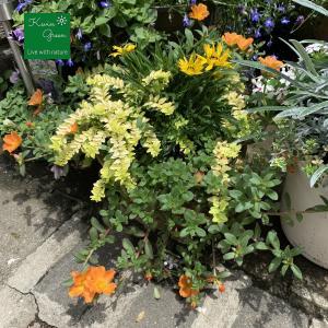夏の黄色い花の寄せ植え #3
