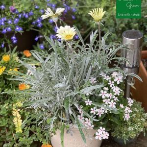 夏の白い花の寄せ植え #3