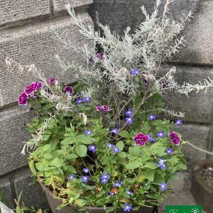 夏の青い花の寄せ植え #5