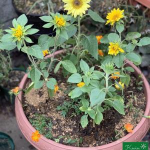 ミニ向日葵の寄せ植え #1
