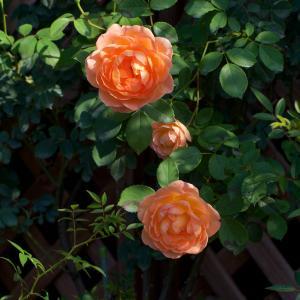 二番花が咲き始め 庭が賑やかになって来ました