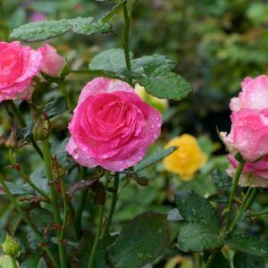 梅雨冷え、バラも一息ついたでしょう