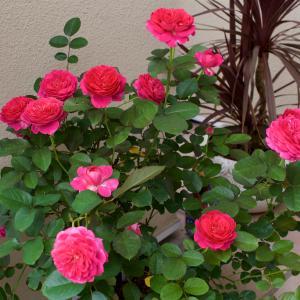 暑くなっても美しいバラの花を咲かせましょう と Saka 大実験