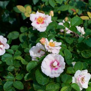 美しいバラの花がいっぱい