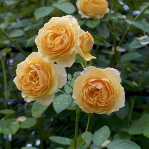 雨の中で咲くER グラハムトーマス