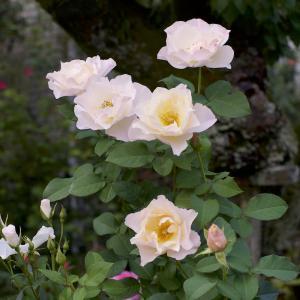 ゆっくりバラを眺めました