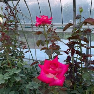 古いバラにベーサルシュート