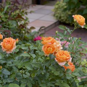 イングリッシュローズの2番花がたくさんに