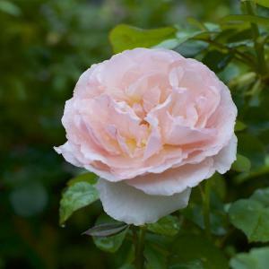 昨晩からの雨に打たれたバラ