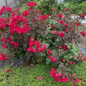 大雨の影響はバラ以外のところで