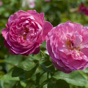 今日はバラの手入れ日