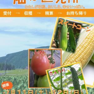 収穫祭に最適なスイートコーン・トマト・キュウリの品種はコレがおススメ。【スイートコーンの食べ頃】