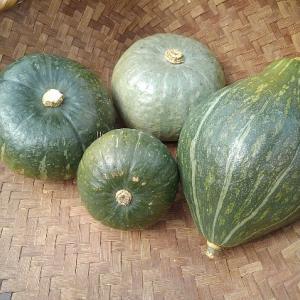 かぼちゃ栽培 収穫した後の磨き実験と貯蔵の方法
