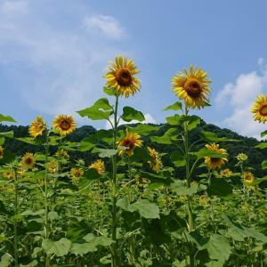 ひまわり畑の作り方【簡単で景観良好!】