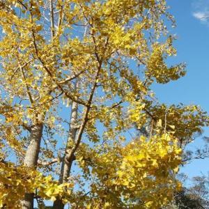 写真 イチョウの木