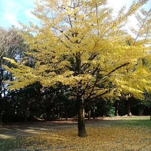 写真 イチョウの木 2