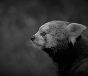 パズコレ記録 レッサーパンダ (モノクロ) 208ピース