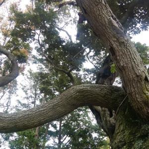 写真 神社の木