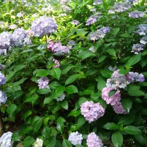 写真 紫陽花