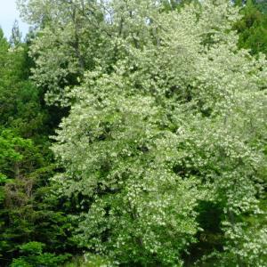 ニセアカシヤとブラックベリーの花