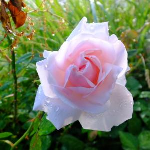 バラ、レモンバーム