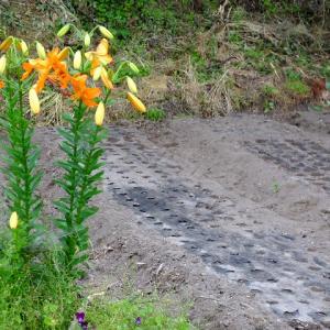 畑の中でスカシユリが咲いた。
