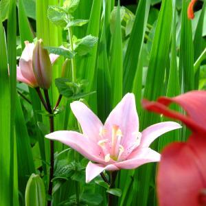 庭の赤いユリに混じってピンクが咲き出した。