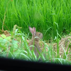 野ウサギがキョトンとしていた。